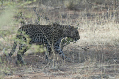 Leopard Tracking at Okonjima