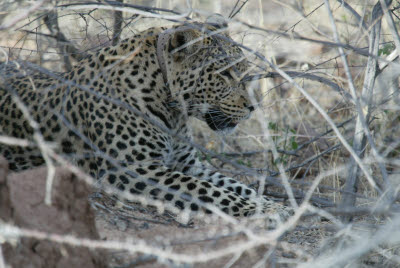 Leopard of Okonjima