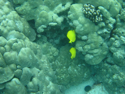 Yellow Tang in Hawaii